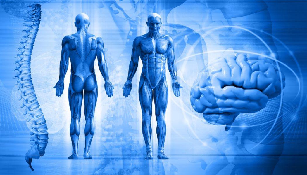 Visualisation of the human anatomy