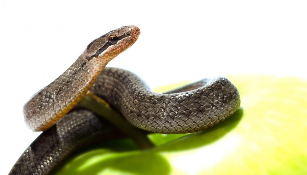 Snake coiled on an apple